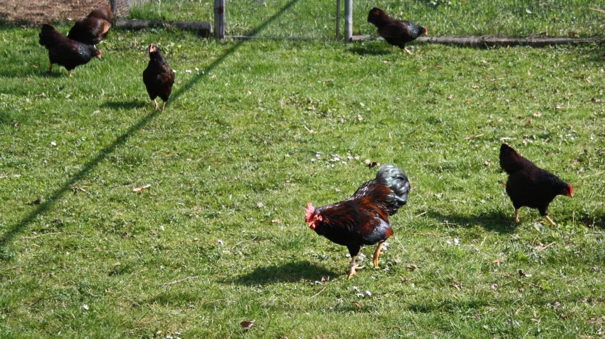 Zwerghühner im Freilauf