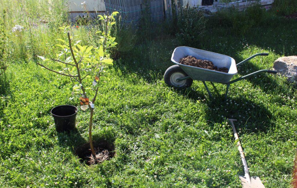 Pflanzloch für den Apfel-Familienbaum