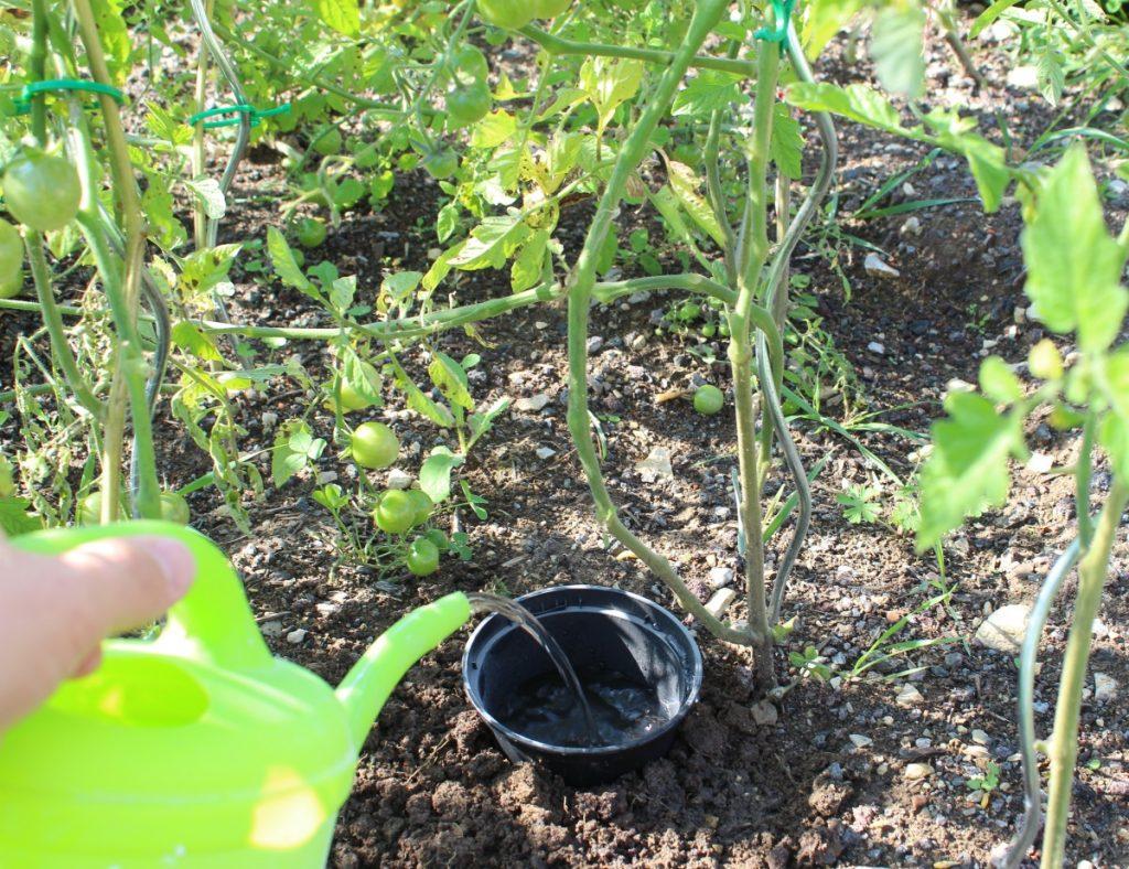 Tomaten gießen mit einem Topf