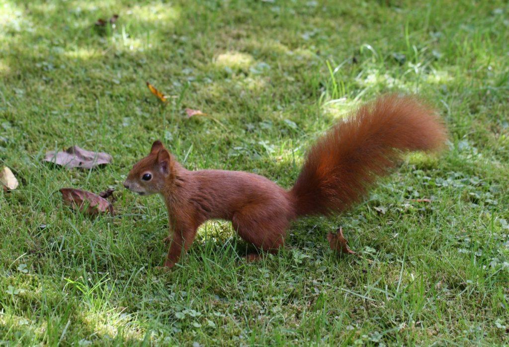 Eichhörnchen durchstreift den Garten