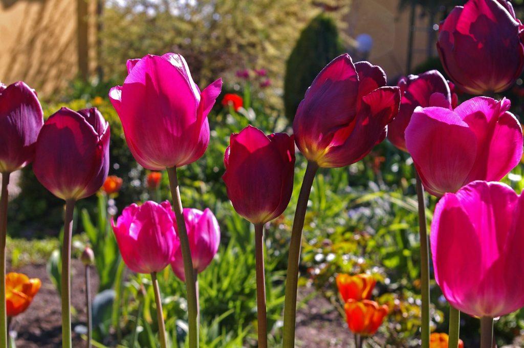 Tulpen Blumenzwiebel